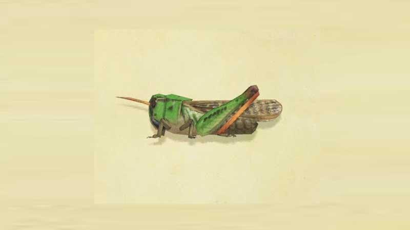 Rare Bug Migratory Locust Location
