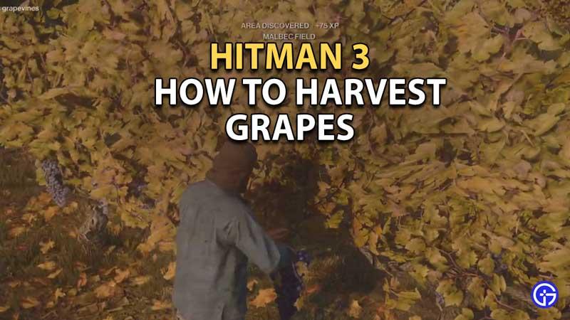 how to harvest three ripe Malbec grapevines